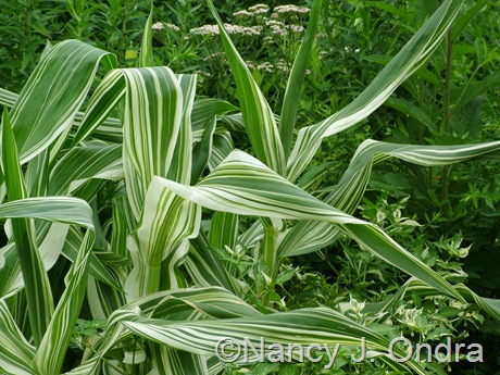 Zea mays 'Tiger Cub' July 2010