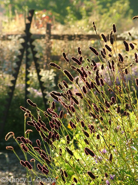 Sanguisorba tenuifolia seedheads Oct 2011