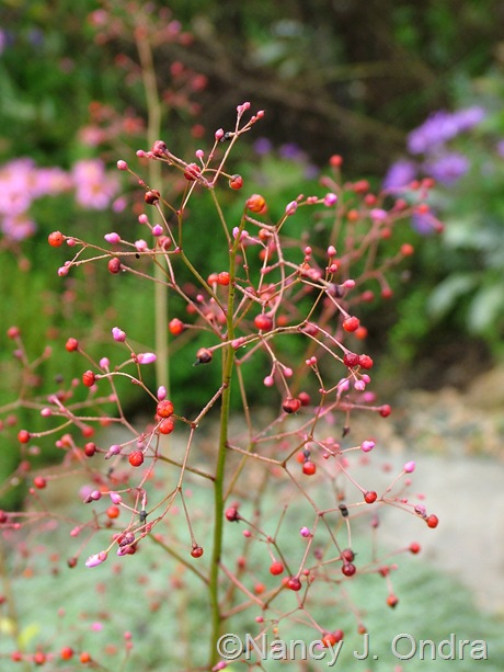 Talium paniculatum 'Kingwood Gold' September 26 2011