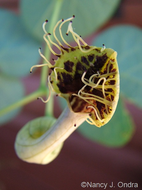 Aristolochia fimbriata Sept 10 2008