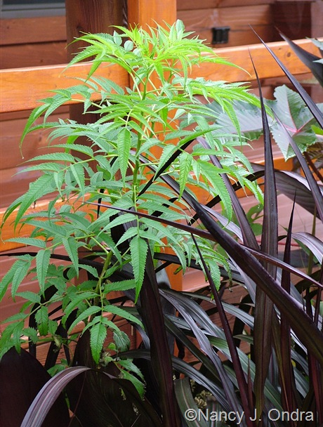 Datisca cannabina foliage Sept 26 2011