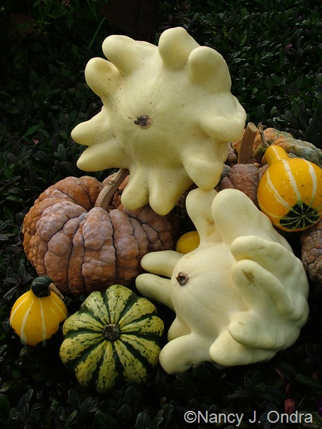 Squash 'Yugoslavian Finger Fruit' with squash 'Black Futsu', squash 'Carnival', and gourds Oct 2011