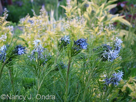 Amsonia hubrichtii in bloom  May 13 2009