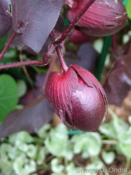 Gossypium herbaceum 'Nigrum' seedpod Oct 2011