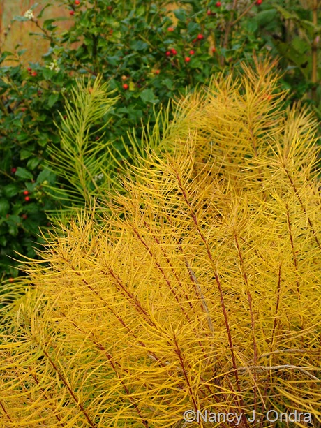 Amsonia hubrichtii fall color Oct 26 2011