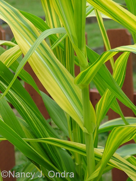 Zea mays 'Old Gold' August 13 2011