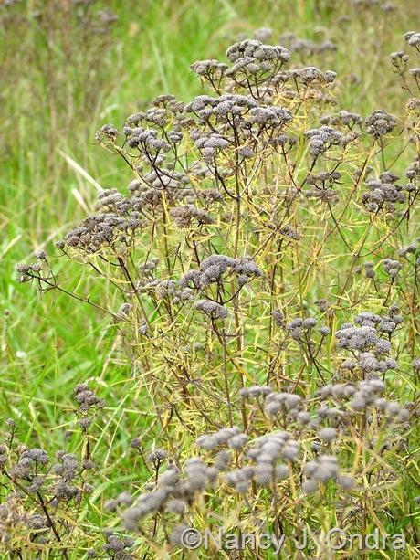 Pycnanthemum tenuifolium Oct 10 11
