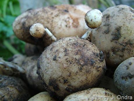 Potato 'Catalina' Oct 5 2008