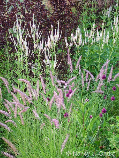 Pennisetum orientale 'Karley Rose' with Allium sphaerocephalon, Veronicastrum virginicum, and Physocarpus opulifolius 'Center Glow'
