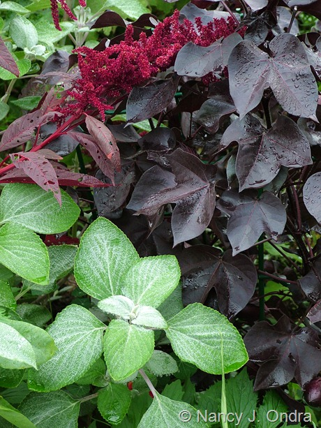 Plectanthus argentatus with Amaranthus 'Hopi Red Dye' and Gossypium herbaceum 'Nigrum'