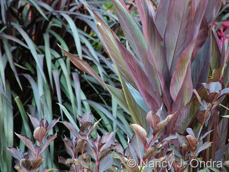 Canna 'Intrigue' with Weigela florida 'Bramwell' (Fine Wine) and Pennisetum 'Tift 8' (Vertigo) at Hayefield