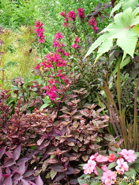 Hypoestes 'Splash Select Rose' with Impatiens 'Sunpatiens Compact Deep Rose', Oryza sativa 'Red Dragon', Weigela 'Elvera' (Midnight Wine), and Lobelia 'Fan Burgundy'