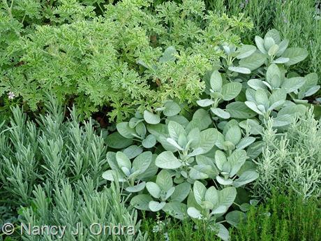 Salvia officinalis 'Berggarten' combination at Hayefield