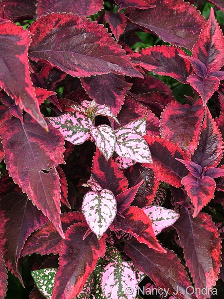 Hypoestes 'Splash Select Pink' with Solenostemon (Coleus) 'Religious Radish'