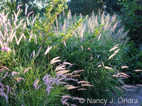 Pennisetum orientale 'Karley Rose' with Spodiopogon sibiricus