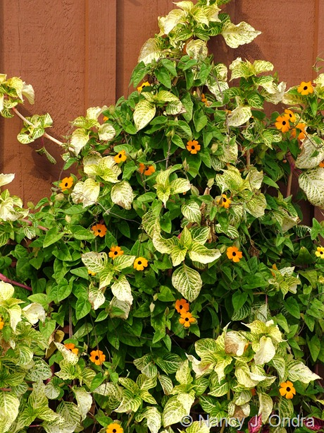 Iresine lindenii 'Formosa' with Thunbergia alata 'Whopper Orange'