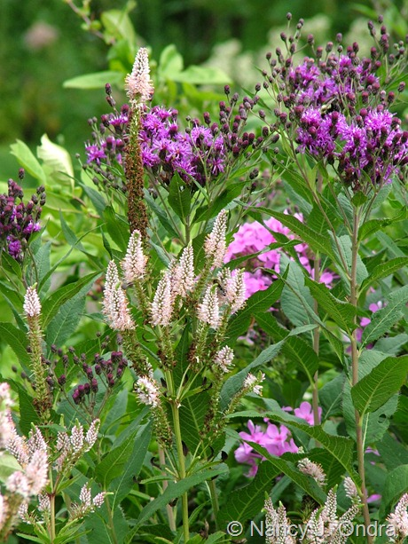 Veronicastrum virginicum 'Erica' with Vernonia noveboracensis