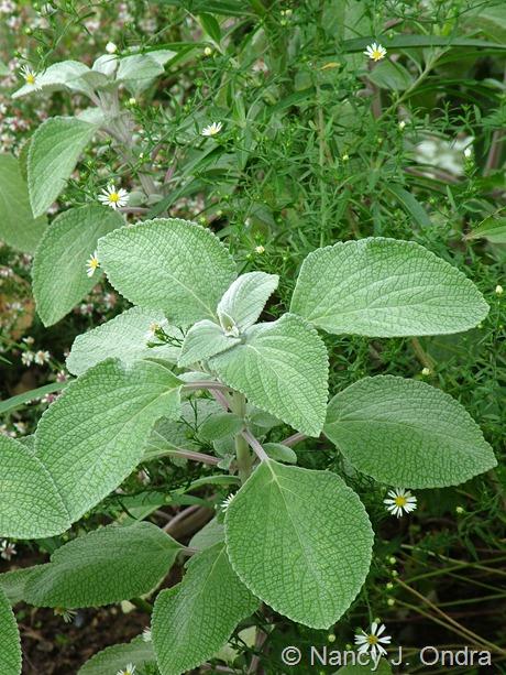 Plectanthus argentatus with Symphyotrichum