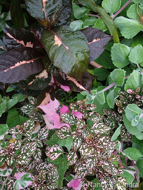 Hypoestes phyllostachys 'Splash Select Pink' with Ipomoea batatas 'Pink Frost', Graptophyllum pictum 'Chocolate', Plectranthus 'Nicoletta'