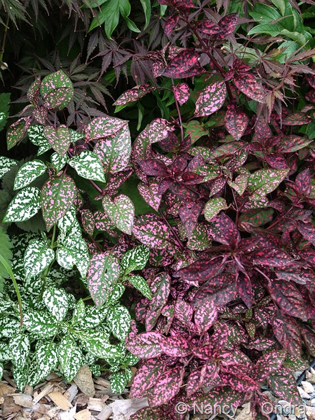 Hypoestes phyllostachya 'Splash Select Mix' (White, Pink, Rose, and Red)