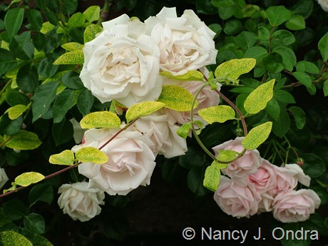 Rosa New Lonicera japonica 'Aureoreticulata' with Rosa 'New Dawn'