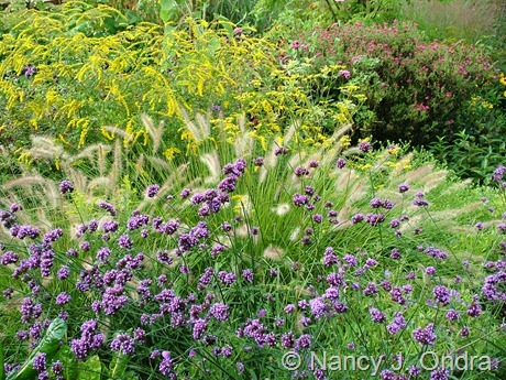 Verbena bonariensis with Pennisetum alopecuroides, Solidago rugosa 'Fireworks' , and Symphyotrichum novae-angliae 'Alma Potschke'