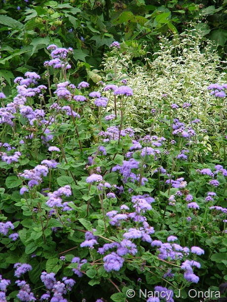 Ageratum 'Blue Horizon' with Caryopteris divaricata 'Snow Fairy' September 28 2009