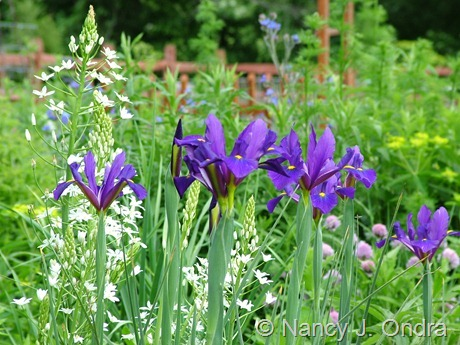 Dutch iris 'Rendezvous' with Ornithogalum magnum May 28 2011
