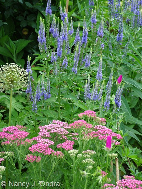 Veronica grandis with Achillea 'Pink Grapefruit' and Callirhoe involucrata June 20 2011
