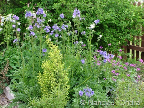 Polemonium caeruleum with Juniperus communis 'Gold Cone' and Lunaria annua May 15 2008