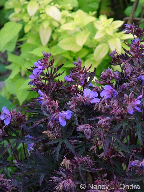 Geranium pratense 'Dark Reiter' with Melissa officinalis 'All Gold' June 20 1011