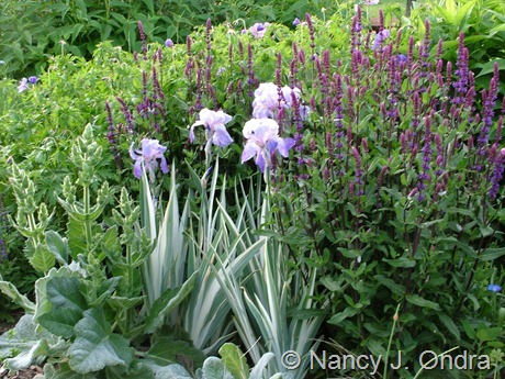 Salvia 'Caradonna' with Iris pallida 'Argentea Variegata' and Salvia argentea May 26 2008