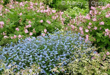Myosotis sylvestris 'Ultramarine' with Geranium macrorrhizum 'Ingwersen's Variety' and Polemonium reptans 'Stairway to Heaven' May 17 2009