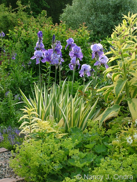 iris pallida 'Variegata' with Alchemilla mollis and Symphytum x uplandicum 'Axminster Gold' May 26 2008