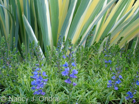 Veronica prostrata 'Goldwell' with Iris pallida 'Variegata' May 21 2008