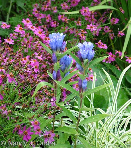 Gentiana triflora var. japonica with Coreopsis 'Limerock Passion' and Liriope muscari 'Silvery Sunproof' July 24 2009