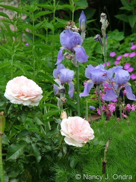 Iris pallida 'Variegata' with Rosa 'Guinevere' May 28 2011