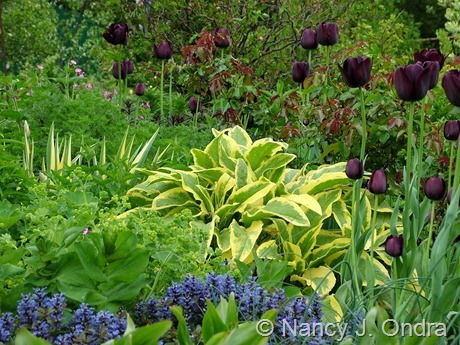 Ajuga reptans 'Valfredda' (Chocolate Chip) with Symphytum x uplandicum 'Axminster Gold' and Tulipa 'Queen of Night' May 6 2011