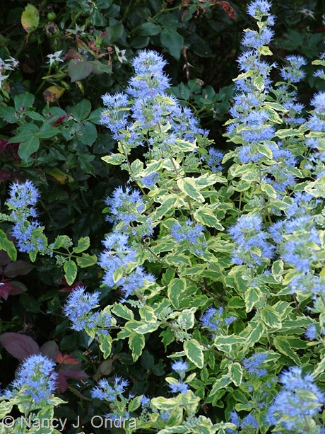 Caryopteris x clandonensis 'Summer Sorbet' September 17 2007