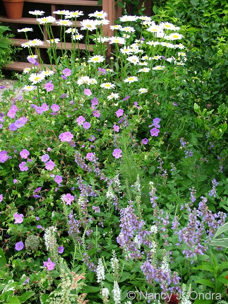 Geranium 'Jolly Bee' and Nepeta sibirica 'Souvenir d'Andre Chaudron', Veronica spicata 'Icicle', and Leucanthemum x superbum 'Becky' July 12 2006