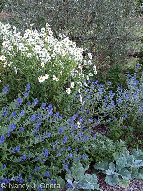 Caryopteris x clandonensis with Salvia argentea, Leucanthemella serotina, and Salix alba var. sericea September 17 2007