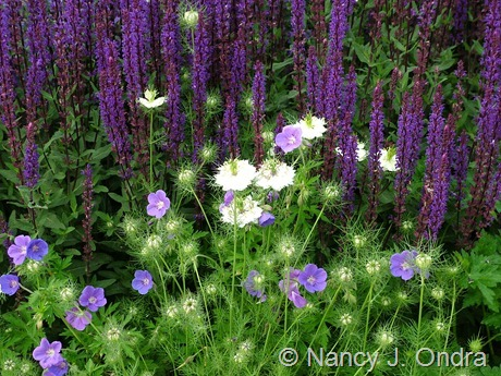 Geranium 'Gerwat' (Rozanne) with Salvia 'Caradonna' and Nigella damascena 'Cramer's Plum' June 1 2006