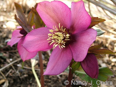 Helleborus x hybridus (pink with bronze nectaries) at Hayefield March 2012