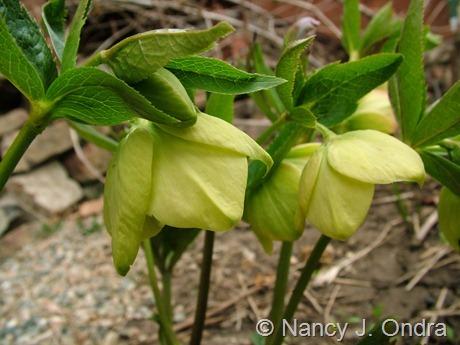 Helleborus x hybridus (yellow) at Hayefield March 2012