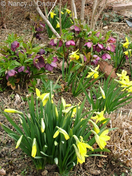 Narcissus 'February Gold' with Helleborus x hybridus at Hayefield March 2012