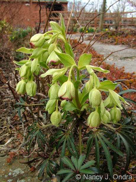 Helleborus foetidus at Hayefield March 2012