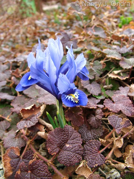 Iris reticulata with Rubus rolfei at Hayefield March 2012