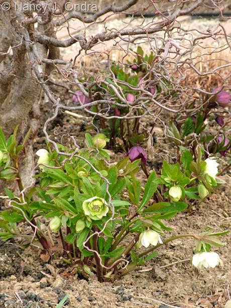 Helleborus x hybridus (double white) at Hayefield March 2012