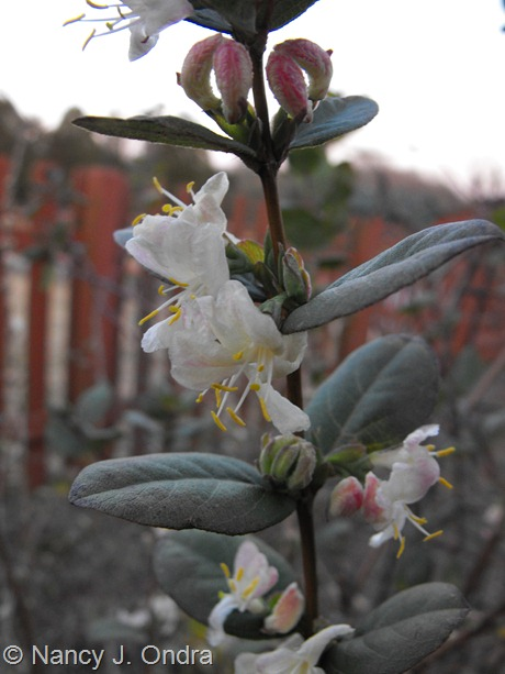 Lonicera fragrantissima at Hayefield March 2012