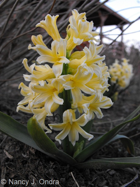 Hyacinthus 'Yellow Queen' at Hayefield March 2012